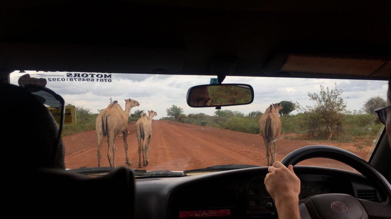 Karamojong Camels