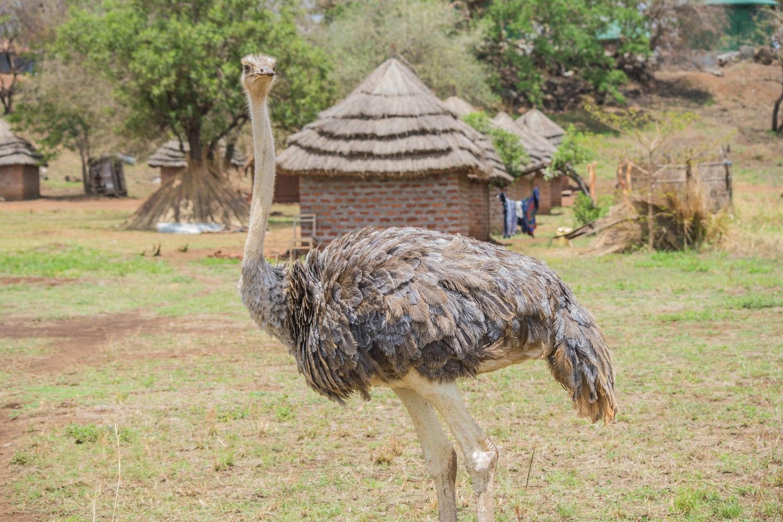 Ostrich in Karamoja