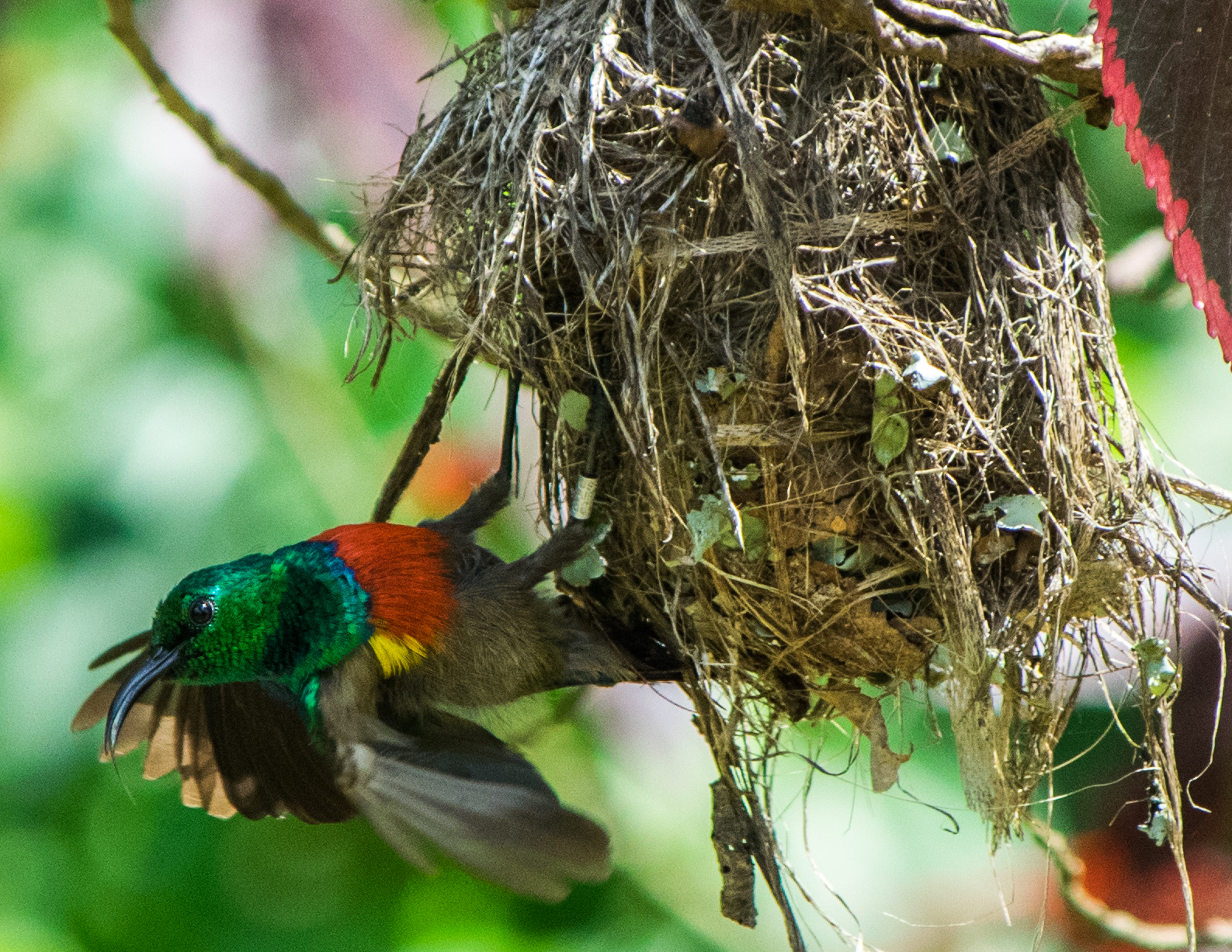 Sunbird in Mabira Forest